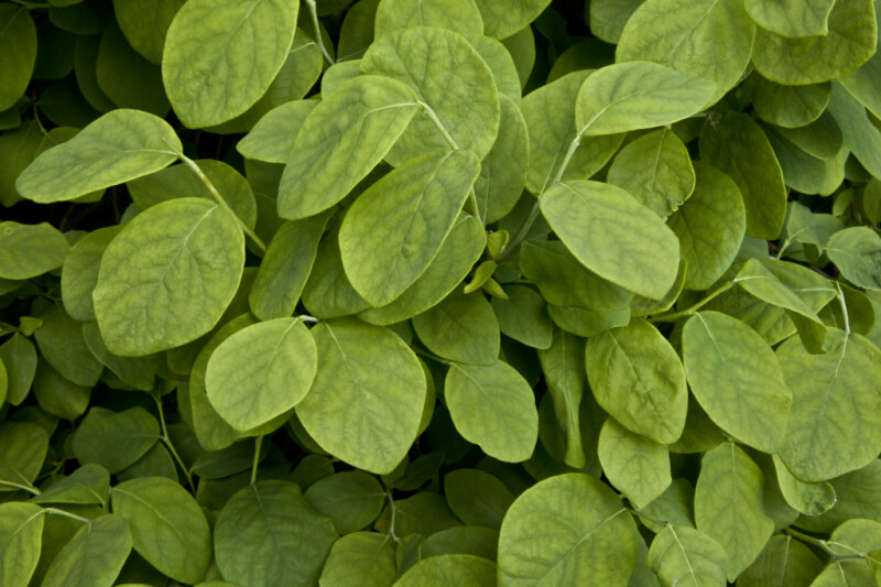 Green Leaves of an Eastern Leatherwood