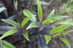 Green Leaves with Indentations