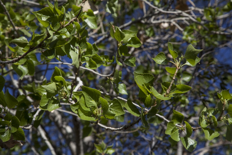 Green Leaves with Serrated Edges