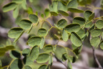 Green Leaves With Yellow Trim of Delonix pumila
