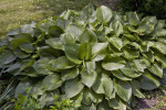 Green, Lined Leaves of a Hosta Plant