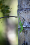 Green Lizard on Tree