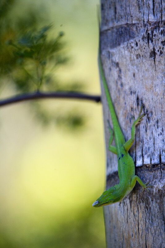 Green Lizard With Head Raised