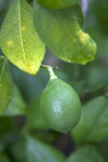 Green Meyer Lemon at the Kanapaha Botanical Gardens