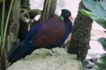 Green-Necked Pheasant Pigeon