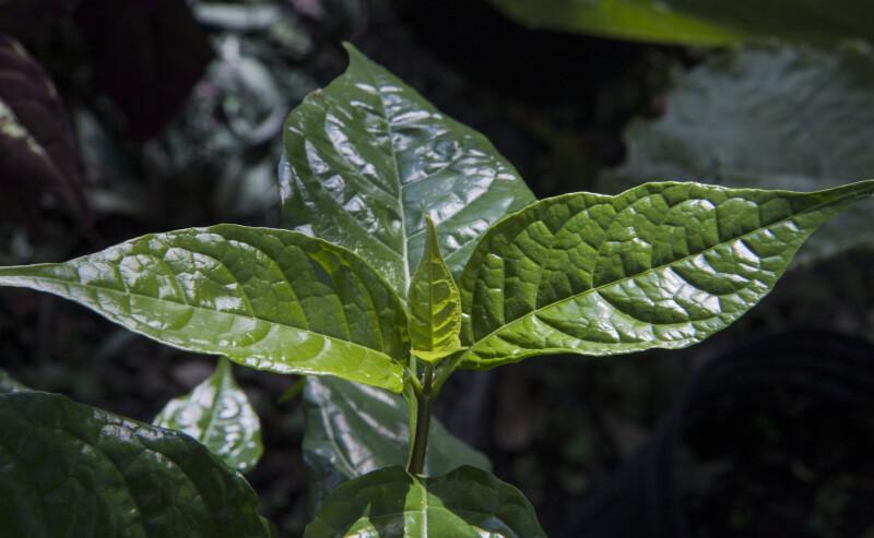 Green, Reflective 'White Lightening' Leaves