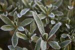 Green Rhododendron Leaves Lightly Covered in Frost