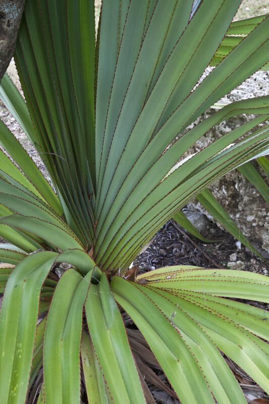 Green, Ridged Succulent Leaves