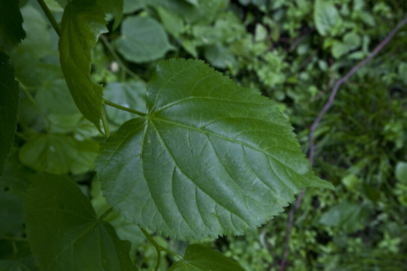 Green, Serrated Leaf of a Littleleaf Linden Tree