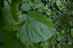 Green, Serrated Leaf of a Littleleaf Linden Tree