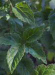 Green, Serrated Southern Arrowwood Leaves