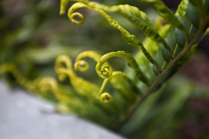 Green Tendril