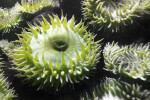 Green Tentacled Sea Anemone