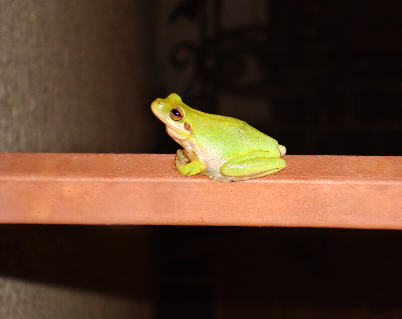 Green Tree Frog Clippix Etc Educational Photos For