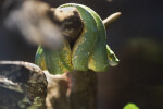 Green Tree Python Side View