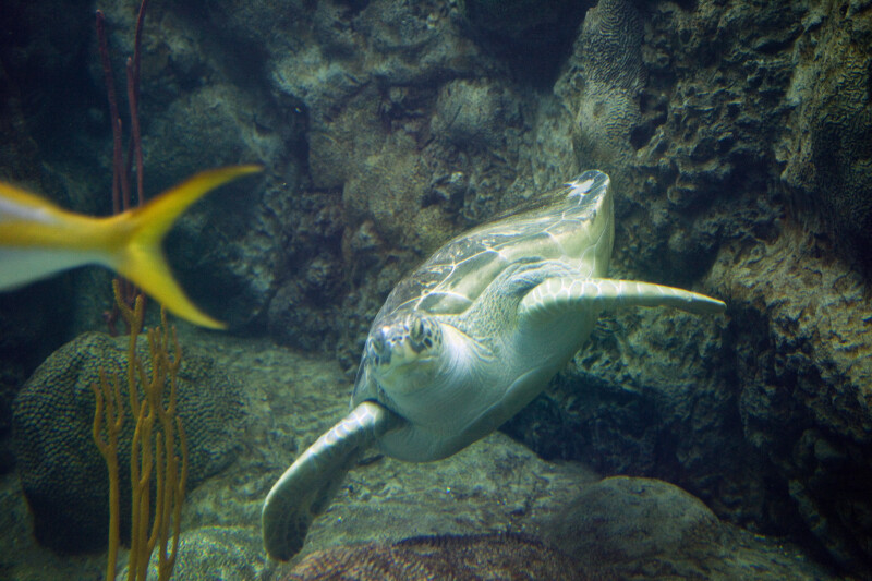 Green Turtle at Bottom