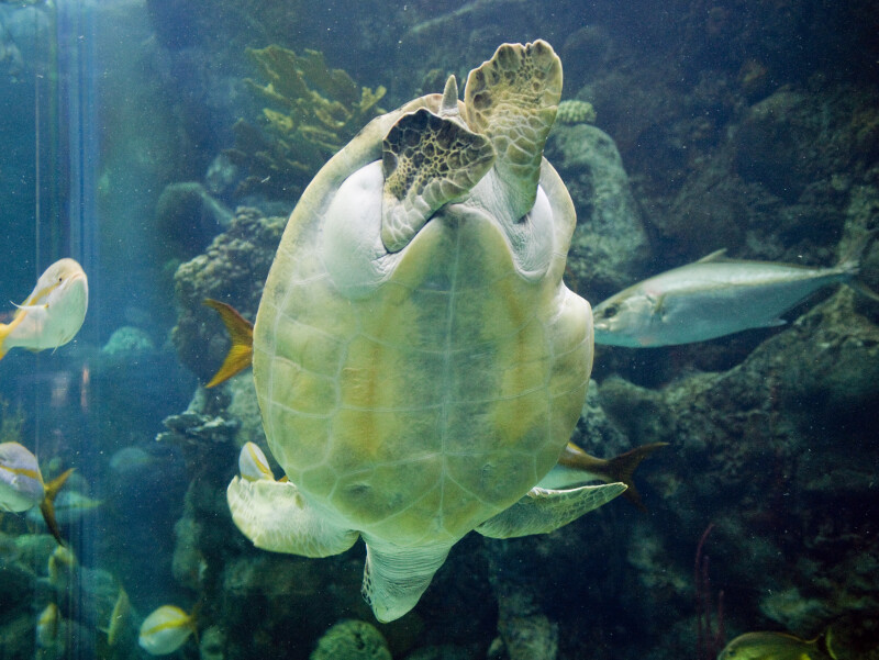 Green Turtle Bottom