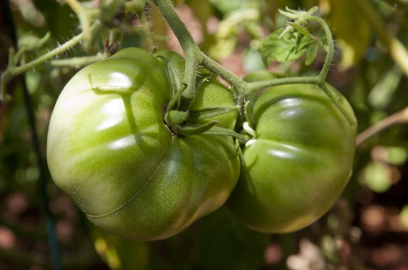 Green, Unripe Brandywine Tomatoes