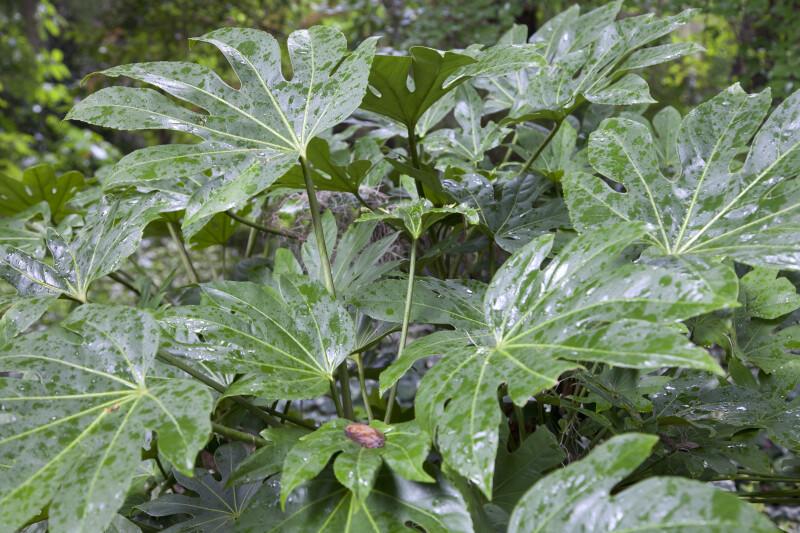Green, Wet, Palmate Japanese Aralia Leaves