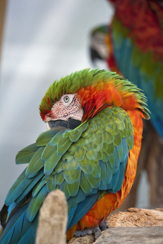 Green-Winged Macaw with Beak Tucked