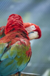 Green-Winged Macaws at Butterfly World