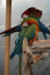 Green-Winged Macaws