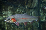 Greenback Cutthroat Trout in Tank