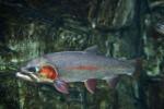 Greenback Cutthroat Trout in Tank