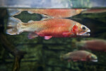 Greenback Cutthroat Trout Spawning Coloration