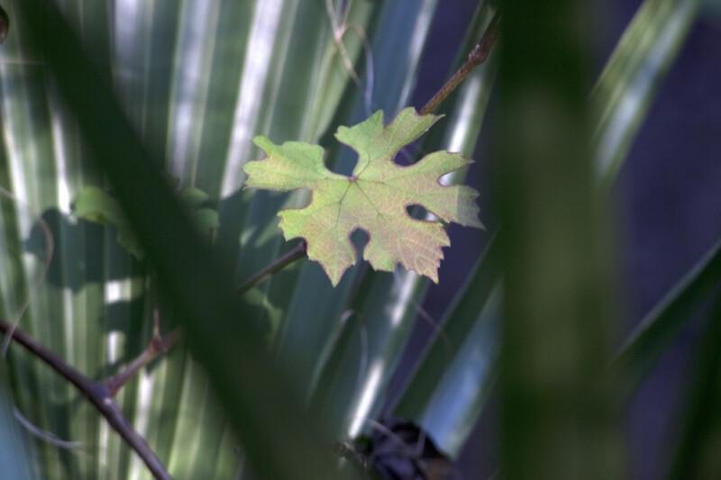 Greenish-Purple Leaf with Many Lobes