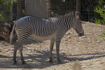 Grevy's Zebra Standing in Shaded Area at the Sacramento Zoo