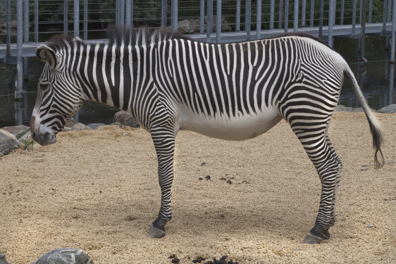 Grevy's Zebras Standing in Enclosure at the Artis Royal Zoo
