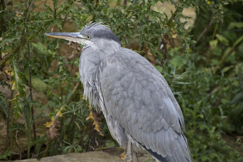 Grey Bird Standing