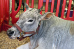 Grey Cow with Small Horns Resting in Enclosure