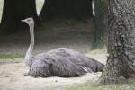 Grey Ostrich (Struthio camelus)