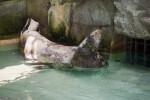 Grey Seal Sunning