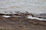 Grey Shorebirds at the Florida Campgrounds of Everglades National Park