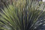 Grey Sotol Leaves