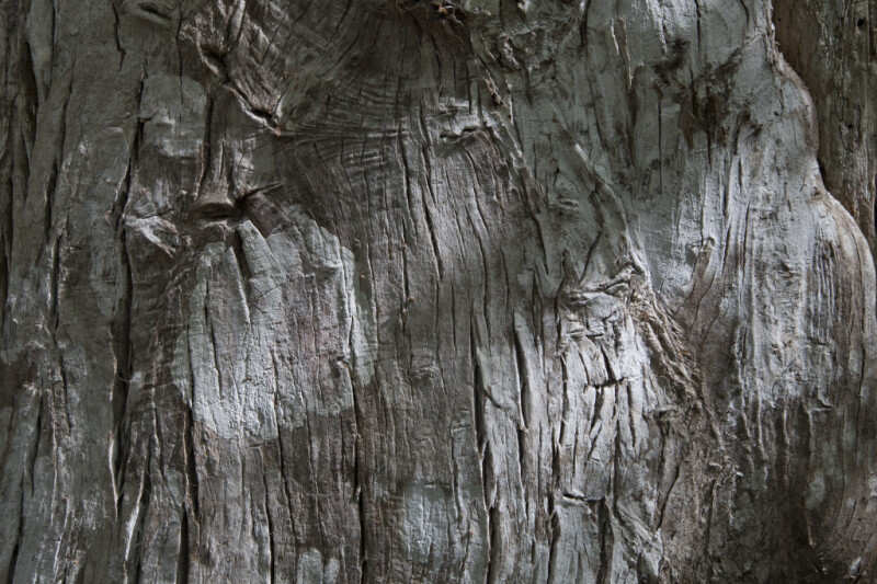 Greyish-Brown Bark of Cypress Tree
