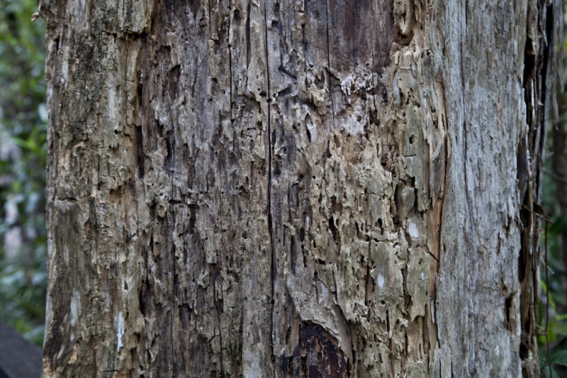 Greyish-Brown Bark of Dead Tree
