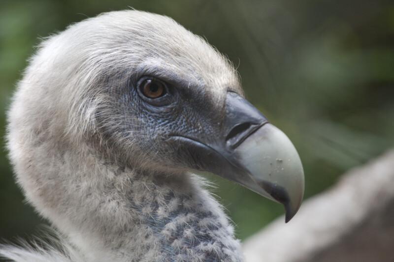 Griffon Vulture Eye