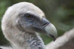 Griffon Vulture Eye