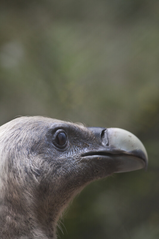 Griffon Vulture Head Side View