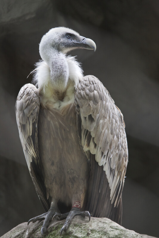 Griffon Vulture Perched on a Rock at the Artis Royal Zoo