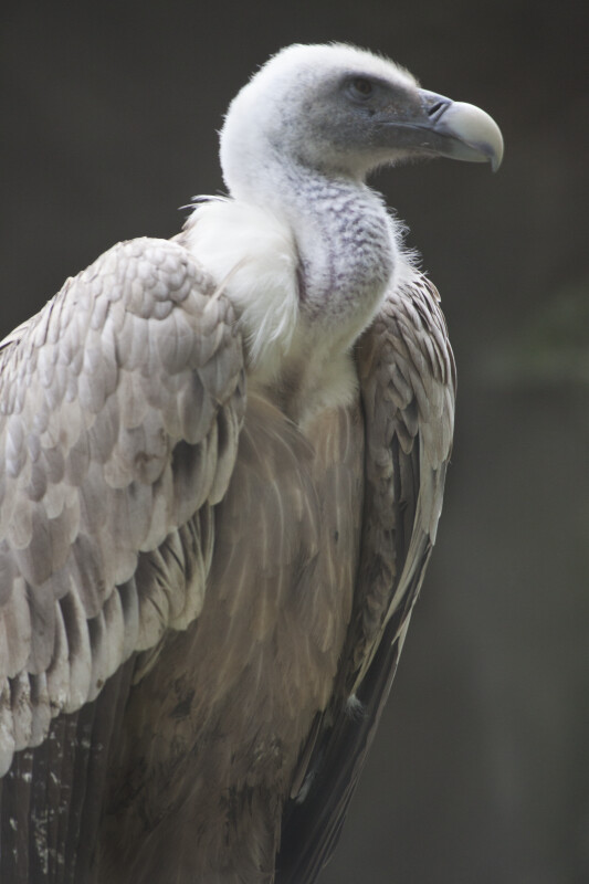 Griffon Vulture Side View