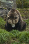 Grizzly at San Francisco Zoo