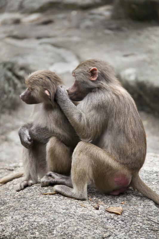 Grooming Primates