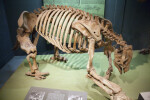 Ground Sloth Skeleton