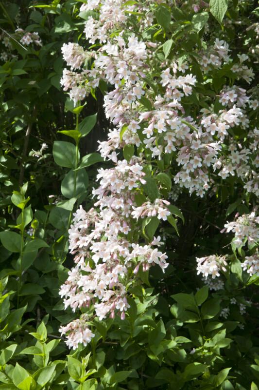 Group of Beauty Bush Flowers