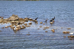 Group of Birds Including Double-Crested Cormorants Resting on Rocks